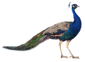 Peacock-240-1
